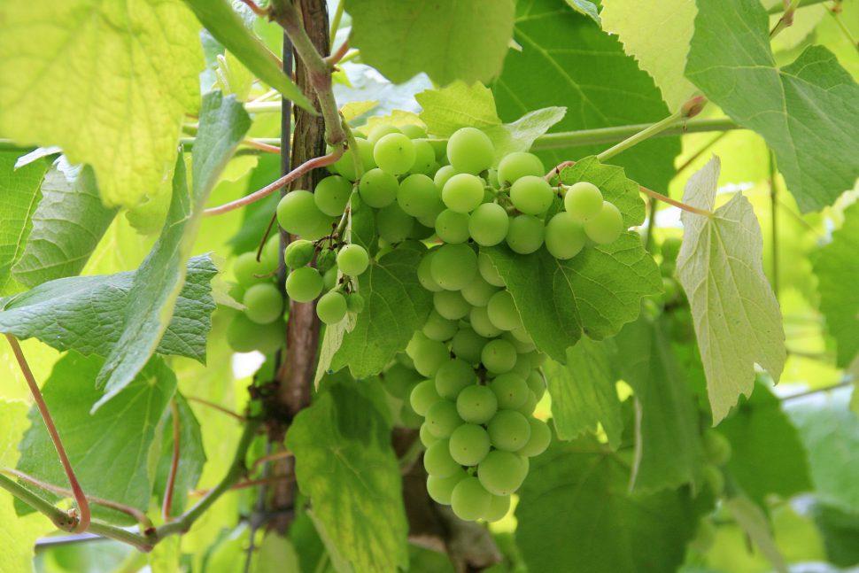 Ruta del Vino Rías Baixas - Visitar Rías Baixas - Visitar Galicia